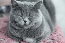 The furry cat is Napping. Cat is meditating, folding its paws and closing its eyes