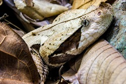The Gaboon viper (Bitis gabonica) is a viper species found in the rainforests and savannas of sub-Saharan Africa. Like all vipers, it is venomous. It is the largest member of the genus Bitis.