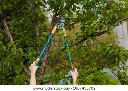 The gardener's hands are cut off with special pruning shears, fruit trees in the garden. Plant care, tree pruning. Stockfoto ©