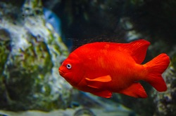 The Garibaldi, known historically also as the Catalina goldfish. This is a species of bright orange fish in the damselfish family.