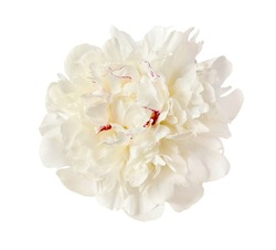 the gentle white peony is isolated on the white