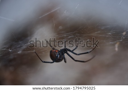 The genus Latrodectus includes 22 black widow species distributed in all continents but antartica. This western black widow, L. hesperus, is rather common in the western US.  Сток-фото ©