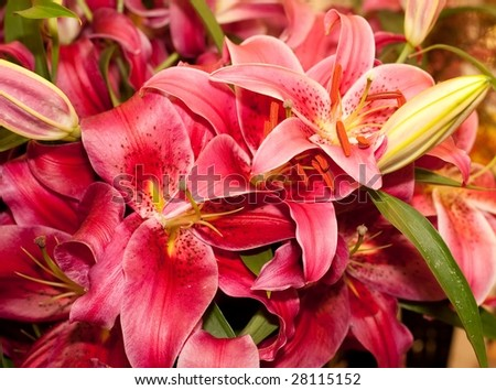 The genus Lilium are herbaceous flowering plants normally growing from bulbs. They comprise a genus of about 110 species in the lily family, Liliaceae.