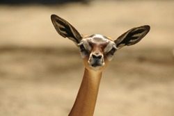 The Gerenuk (Litocranius walleri), also known as the Waller's Gazelle, is a long-necked species of antelope found in dry bushy scrub and steppe in East Africa.