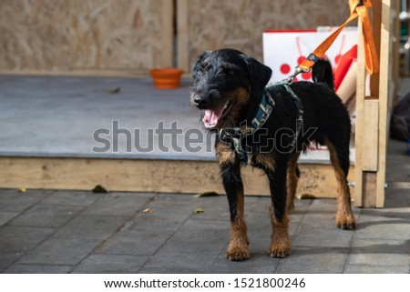 The German Hunting Terrier or Yagd Terrier is an independent, decisive, fearless dog. Categorically not suitable for lazy and melancholy people, but in hunting or sport - the breed has no equal. #1521800246