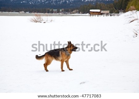 The German Shepherd Dog (GSD, also known as an Alsatian) is a breed of large-sized dog that originated in Germany.