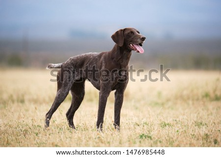 The German Shorthaired Pointer is a medium to large sized breed of dog developed in the 19th century in Germany for hunting.One of the most versatile sporting breeds around, the stylish and regal Germ #1476985448