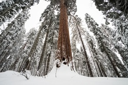 The giant forest covered by snow after the winter storm at Sequoia Tree National Park, California, USA