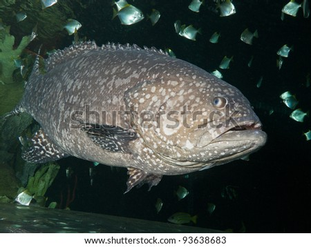 The Giant grouper (Epinephelus lanceolatus), also known as the brindle bass, brown spotted cod, or bumblebee grouper and as the Queensland groper