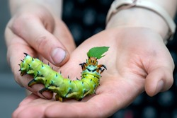 The giant horned caterpillar of the Royal Walnut Moth, Regal Moth or Hickory Horned Devil, Citheronia regalis on a woman`s hand. The World's Largest Caterpillar.