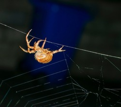 The giant house spider is one of our fastest invertebrates, running up to half a meter per second. This large, brown spider spins sheet-like cobwebs and pops up in the dark corners of houses.
