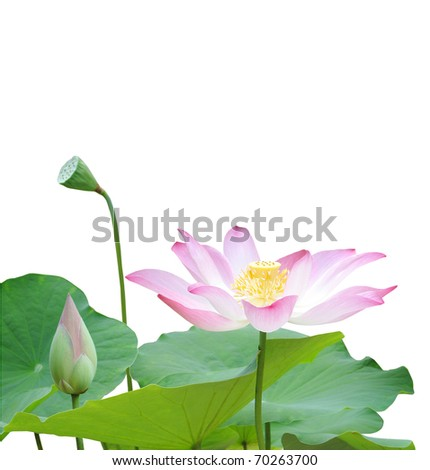 the giant lotus life on white background