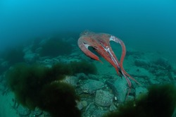 The Giant octopus uses the reactive principle to swim in the water column, throwing water out of the rostrum with force.