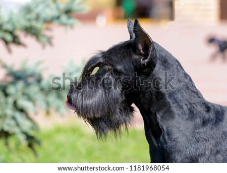 The Giant Schnauzer stands on the green grass in city park. #1181968054