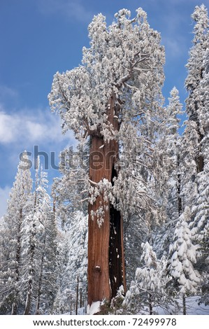The Giant Sequoia Trees covered in snow