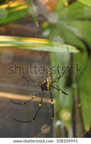 The Giant wood spider (Nephila maculata/nephila pilipes), AKA the Golden Orb Weaver or Banana Spider, is one of the largest spiders in the world & is known for it's striking black & yellow coloring.
