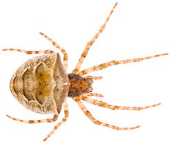The Gibbaranea bituberculata spider a species of an orb weaver spider in the family Araneidae spiders, subfamily Araneinae. Orb-weaver spider isolated on white background.