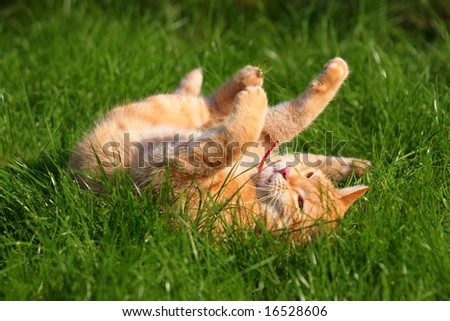 the ginger cat rolls in the grass