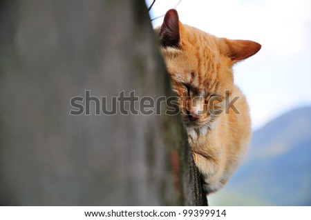 The ginger cat sleeping on wall