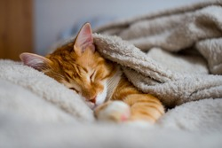 The ginger cat sleeps in a white fluffy blanket. The ginger kitten is resting. A cozy home, autumn mood, a fluffy cat. Sleeping ginger cat. Fluffy pet comfortably settled to sleep.