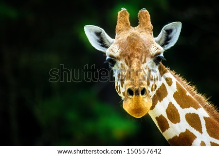 stock photo the giraffe 150557642 - Каталог — Фотообои «Животные»