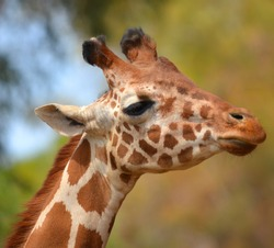 The giraffe (Giraffa camelopardalis) is an African even-toed ungulate mammal, the tallest of all extant land-living animal species, and the largest ruminant. (Etosha National Park) Namibia Africa