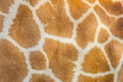 The Giraffe hair texture for background and texture use