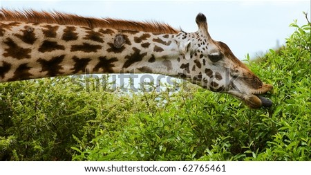 The giraffe has tended to a bush and having extended dark blue language tears leaves.