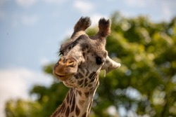 The giraffe is a African mammal, the tallest living terrestrial animal and the largest ruminant. A giraffe's spots are like human fingerprints: no two individual giraffe have exactly the same pattern.
