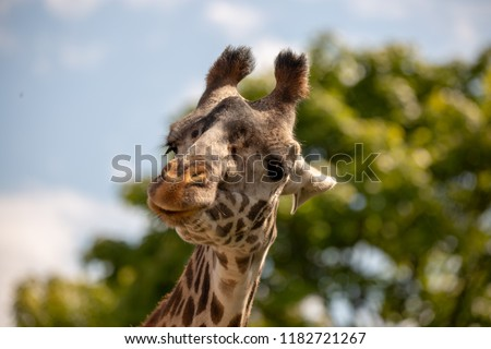 The giraffe is a African mammal, the tallest living terrestrial animal and the largest ruminant. A giraffe's spots are like human fingerprints: no two individual giraffe have exactly the same pattern. #1182721267
