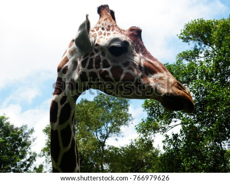 The giraffe is a genus of African even-toed ungulate mammals, the tallest living terrestrial animals and the largest ruminants.  #766979626