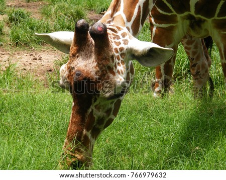 The giraffe is a genus of African even-toed ungulate mammals, the tallest living terrestrial animals and the largest ruminants.  #766979632