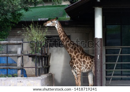 The giraffe is an African even-toad ungulate mammals, the tales of all extant and-living animal species, and the largest ruminant #1418719241