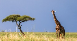 The giraffe stands in the savannah. A classic picture. Africa. Tanzania. Serengeti National Park.