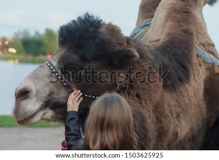 the girl touches the camel, checking whether it is cold.Love for animals.