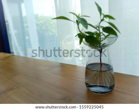 The glass vase is put on a green ornamental plant placed on a brown wooden table in a glass with half clear water and a white curtain on the back. #1559225045