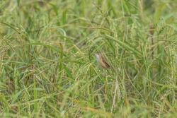 The globally vulnerable Manchurian Reed Warbler controlling insect pests in a rice field