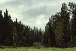 The gloomy atmosphere of the evening in the dark forest. High firs and pines in the fog. Overcast weather.