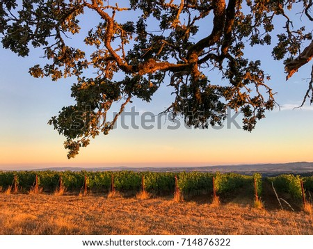 The glow of the setting sun tips the vineyard rows in warm tones and touches the branches of an oak tree in the foreground while the sky glows behind.  #714876322