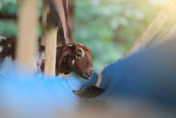 The goat eats grain food in a blue bucket