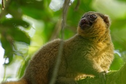The Golden Bamboo Lemur in the Ranomafana Rainforest Madagascar, classified CR (critically endangered) by IUCN