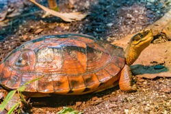 The golden coin turtle (Cuora trifasciata) is a species of turtle endemic to southern China and northern Vietnam. It has three distinct black stripes on its brown carapace.