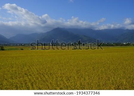The Golden Crop Waving in Chishang (池上金黃色稻浪) ストックフォト ©