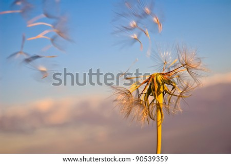 The golden dandelion with flying seeds against the blue sky and pink clouds