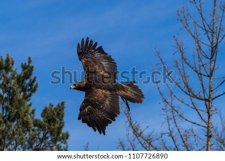 the golden eagle (Aquila Chrysaetos) is one of the best-known birds of prey