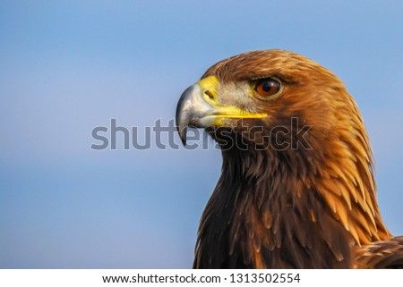 The golden eagle (Aquila chrysaetos) is the most widely distributed species of eagle.  it belongs to the family Accipitridae. A majestic golden eagle looking around. Portrait, detail picture.