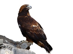 The golden eagle (Aquila chrysaetos) sitting on a rock isolated