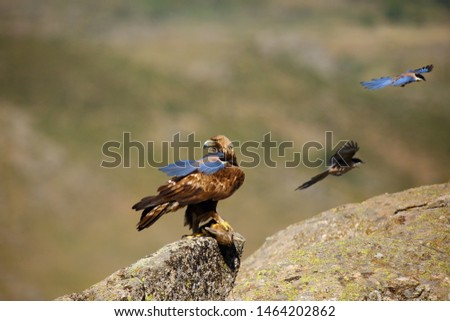 The golden eagle (Aquila chrysaetos) sitting on the rock. Male golden eagle Golden eagle is harassed by azure-winged magpie (Cyanopica cyanus) in the Spanish mountains with prey.
