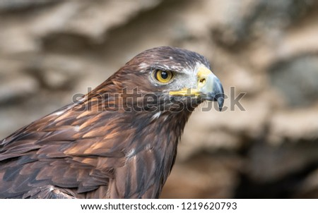 The golden eagle is one of the best-known birds of prey in the Northern Hemisphere.