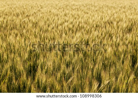 The golden ears of wheat on a summer evening